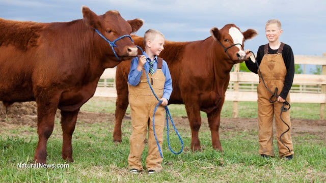 Children-Farm-Cattle-Cows-Dairy